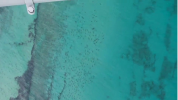 thousands_of_sharks_off_palm_beach.jpg